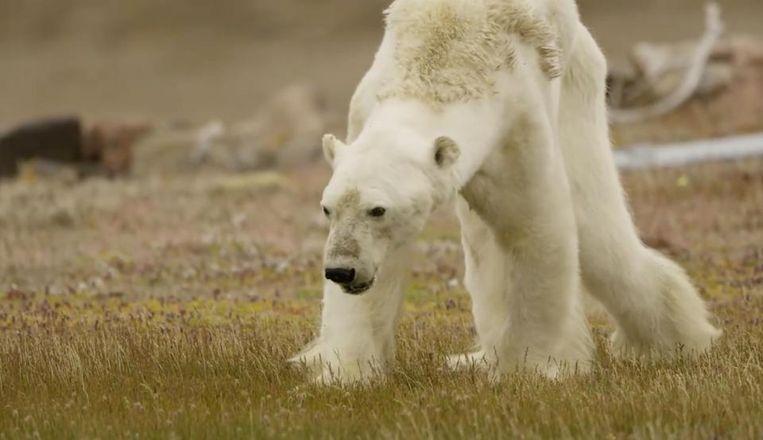 """De foto die National Geographic-fotograaf Paul Nicklen schoot. Hij filmde hoe een uitgehongerde ijsbeer in Canada zichzelf voortsleepte, op zoek naar voedsel. """"Door de klimaatopwarming"""", klonk het, maar dat beeld moest genuanceerd worden. Deze beer is gewoon oud, klonk het."""