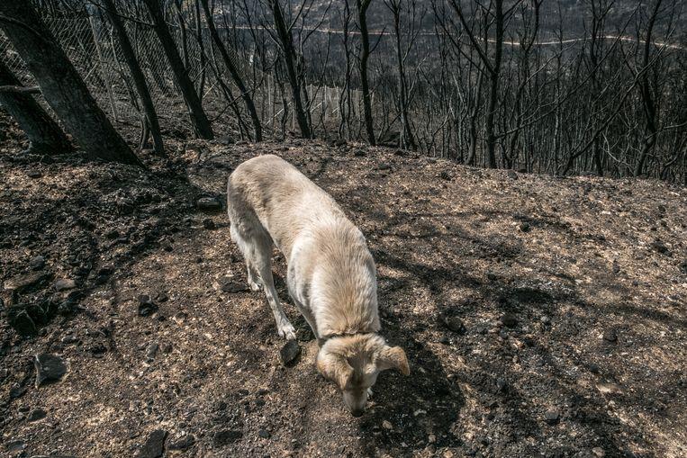 Bij de Griekse badplaats Mati vielen de meeste dodelijke slachtoffers door de hevige bosbranden. Beeld Joris Van Gennip