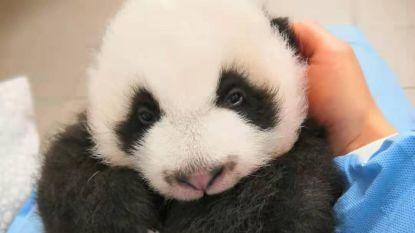 IN BEELD. Pandatweeling Pairi Daiza schattiger dan ooit