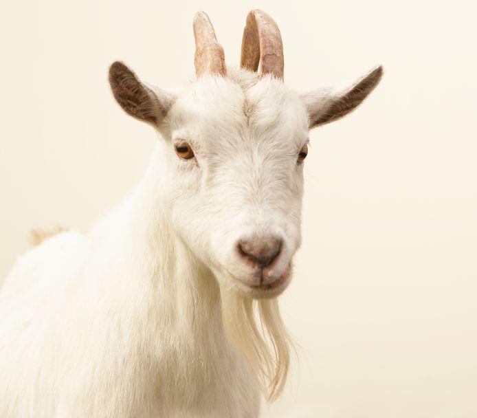 Q-koorts is een infectieziekte die van schapen en geiten op mensen kan worden overgedragen.