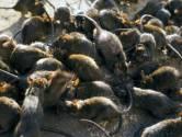 Un quartier de Couillet infesté de rats