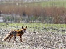 Vossen gespot in woonwijk Groene Hart: waarom we niet bang hoeven zijn