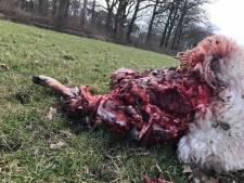 DNA bewijst: zes Twentse schapen slachtoffer van wolven