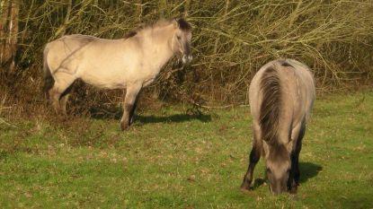 """Natuur en Bos dreigt natuurgebied af te sluiten: """"Wandelaars komen te dicht bij de paarden en jagen ze op met loslopende honden"""""""