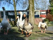 Kun je een boete krijgen voor het voeren van ganzen in Apeldoorn?