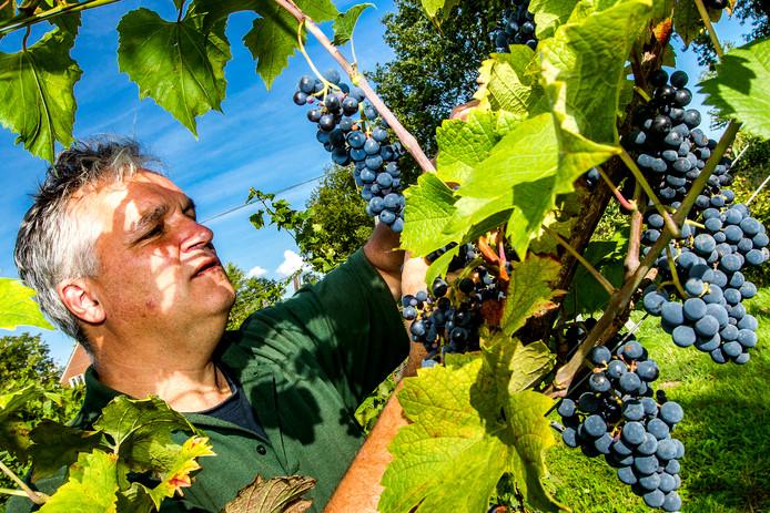 Ralph Mulders is zo'n drie weken eerder dan andere jaren begonnen met het oogsten van de druiven in zijn wijngaard De Landman.