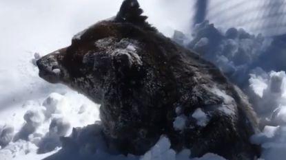 """Emotionele verzorgster filmt hoe beer uit winterslaap ontwaakt: """"Laat zien dat wereld doorgaat"""""""