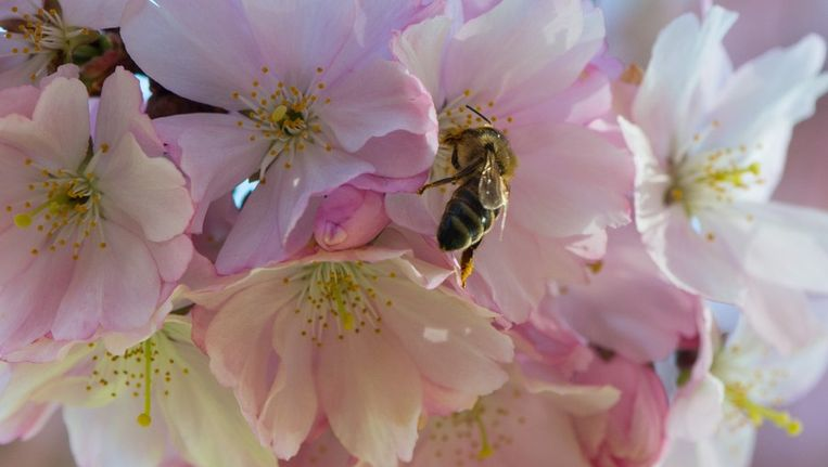 Een bij op een Japanse kersenboom Beeld afp