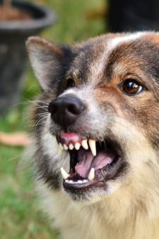Dordrecht krijgt een meldpunt voor agressieve honden