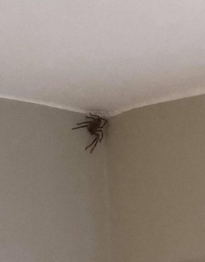 De spin die gisteren de Canadese Sheena de stuipen op het lijf joeg.