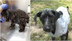 Gered uit de hel maar ze blijven vriendelijk: nieuwe hoop voor 31 zwaar verwaarloosde honden