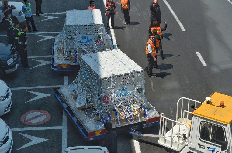 De panda's worden in hun kisten vervoerd. Beeld anp