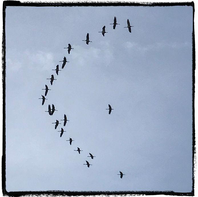 Kraanvogels vliegend naar het zuidwesten.