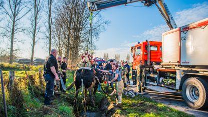 Brandweer moet koe uit sloot hijsen nadat aanhangwagen is gekanteld