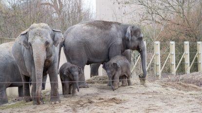 Olifantenbaby's Planckendael voor de eerste keer buiten