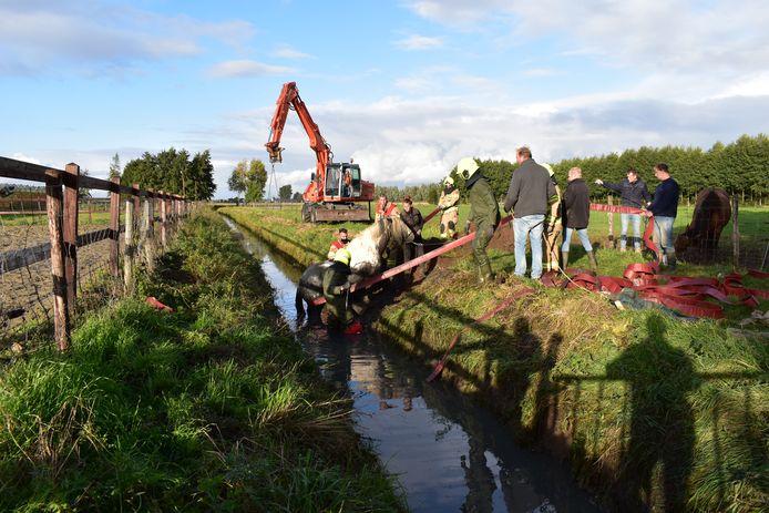 Het paard wordt met een speciale band uit het water getild in Haalderen.