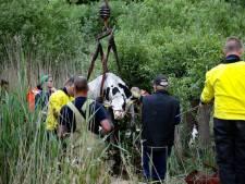 Negen koeien vast in moeras bij Doesburg