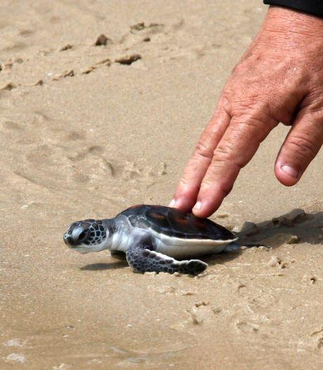 Schildpadjes hebben de plek van toeristen ingenomen op Thaise stranden