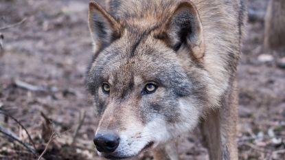 Zes schapen doodgebeten door wolven in Nederland