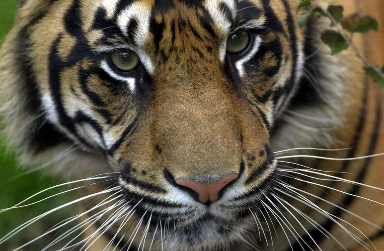 Een Sumatraanse tijger, archiefbeeld ter illustratie.