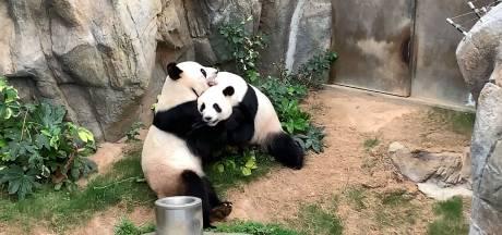 Après dix ans de vie commune, ces pandas s'accouplent pour la première fois