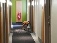 Quand une chevrette s'invite dans un hôtel à Limoges