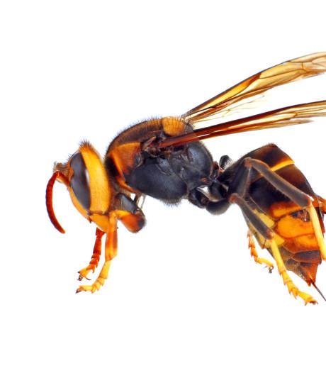 Dit jaar twee nesten van schadelijke Aziatische hoornaar vernietigd
