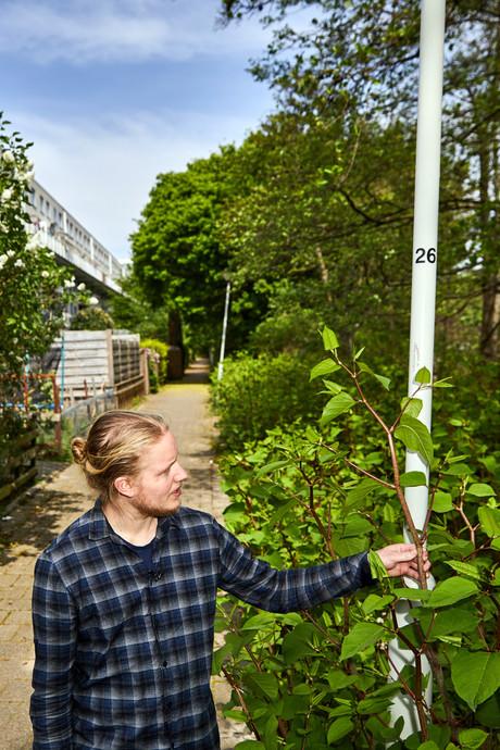 'Horrorplant' duizendknoop is op oorlogspad in Rotterdam