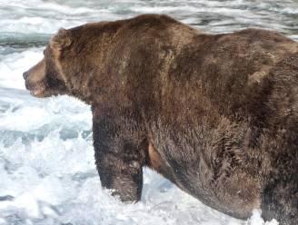 """'747' verkozen tot koning der beren in 'Fat Bear Week' in Alaska: """"De grootste die we ooit al gezien hebben"""""""
