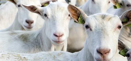Bewoners willen advies GGD over geiten Zelhem