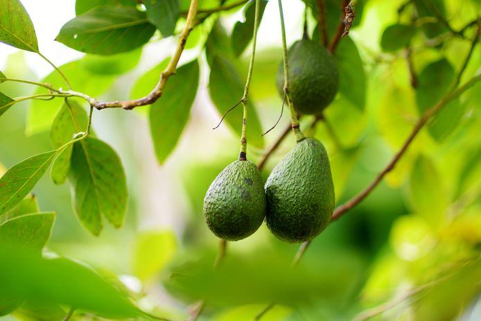 Vorig jaar werd er een recordaantal avocado's geplukt, dit jaar is er juist sprake van een tekort.