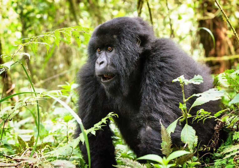 Een van de gorilla's die tot de Hirwa-familie behoort.