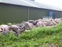 Dode varkens aan de Hazelbergsestraat in Heeswijk-Dinther.