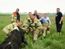 Brandweer redt koe uit de sloot in Eemnes