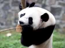 LIVE: Panda's komen aan in Rhenen