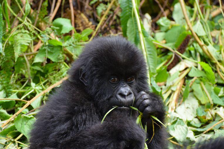 Gorilla in het wild, Rwanda.