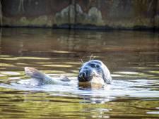 Verdwaalde zeehond hapt een dikke karper weg in Hoogeveensche Vaart bij Rogat