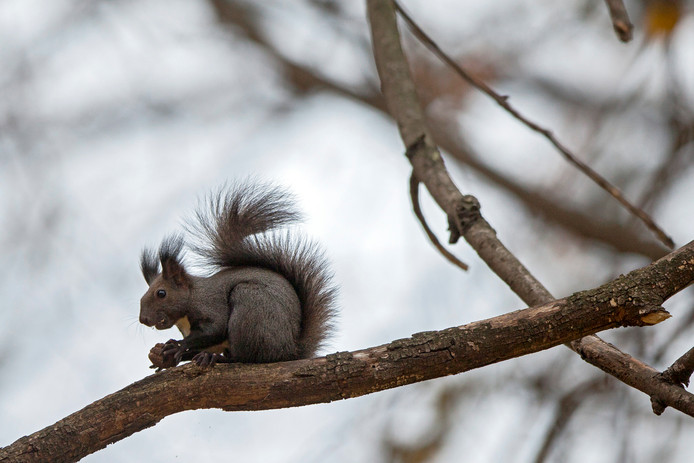 Een eekhoorn knabbelt op een noot in het Valea Morilor Park van Chisinau, in Moldavië. Foto Dumitru Doru