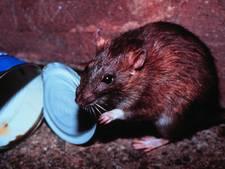 VVD Vught maakt zich zorgen over oprukkende rattenplaag; stelt vragen aan het College
