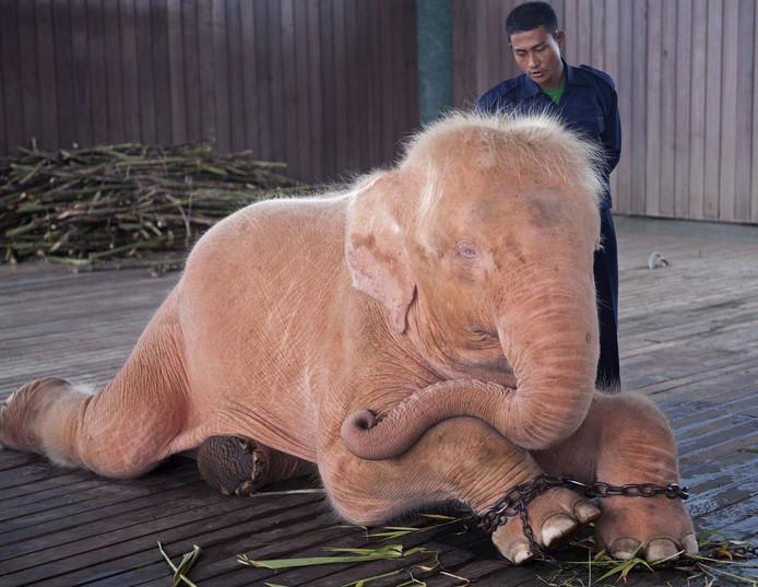 Een witte olifant in een asiel in Naypyidaw, de hoofdstad van Myanmar.