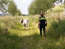 Politie jaagt koe uit winkelcentrum in Arnhem
