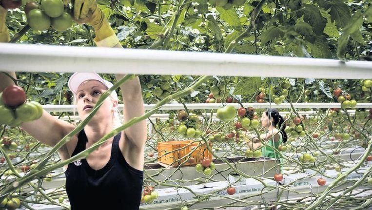 In Nederlandse kassen werken veel Midden- en Oost-Europeanen. Nederlanders willen niet werken in de tuinbouw. Beeld Herman Engbers, HH