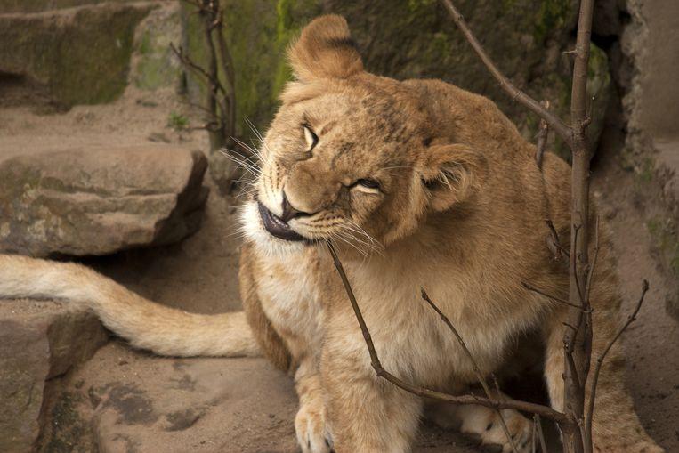 Leeuw in Artis. Beeld Flickr/Kitty Terwolbeck