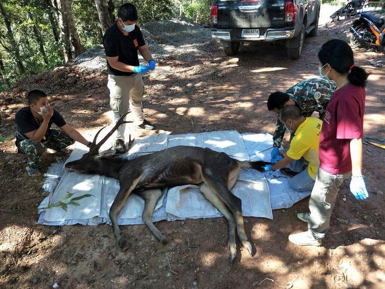 Het hert werd gevonden in Khun Sathan national park in Thailand.