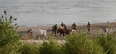 Brandweer redt koe die vastzit in drijfzand