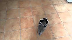 """""""Onze geslachtsdelen zijn niet compatibel"""": duif probeert vrouw te versieren"""