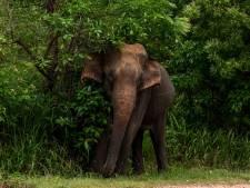 Une éléphante tuée par un fruit piégé rempli de pétards