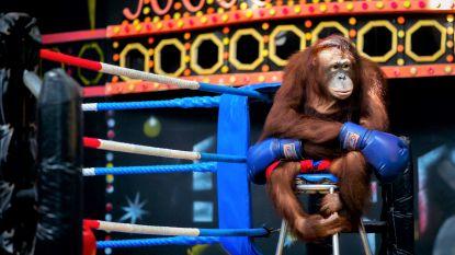 Gevangen en mishandeld: de trieste waarheid achter boksende orang-oetans in Thailand