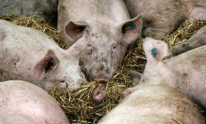 Archieffoto varkenshouderij