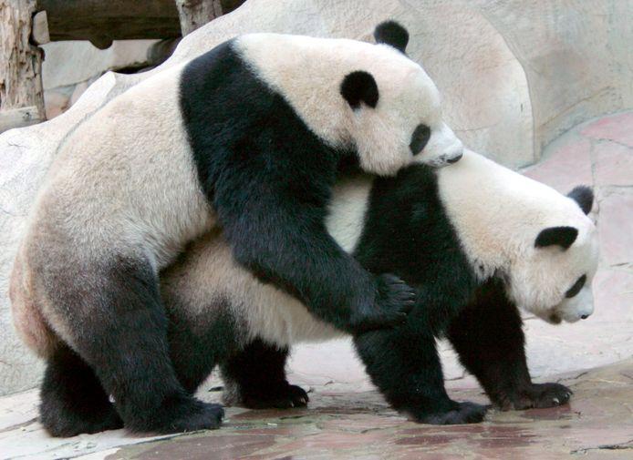 Chuang Chuang (à g.) et Lin Hui (d.) au Chiang Mai Zoo, au nord e la Thaïlande, en 2005